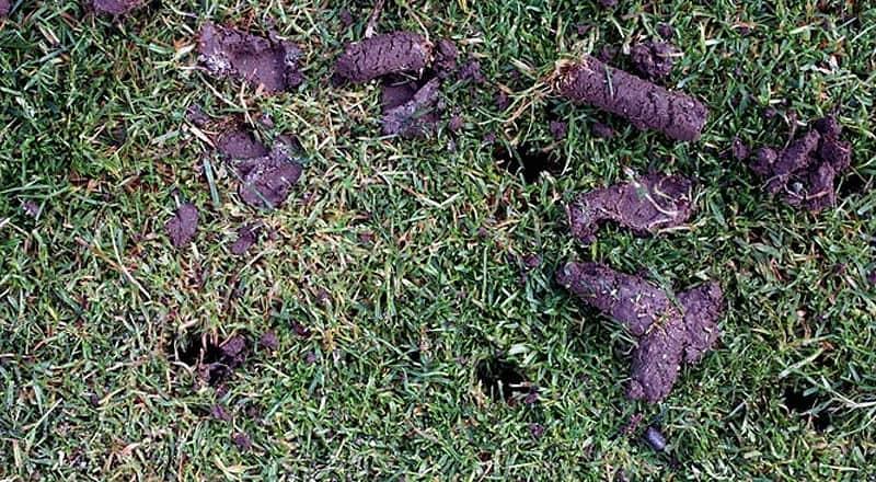 Carottes de terre après le passage de l'aérateur