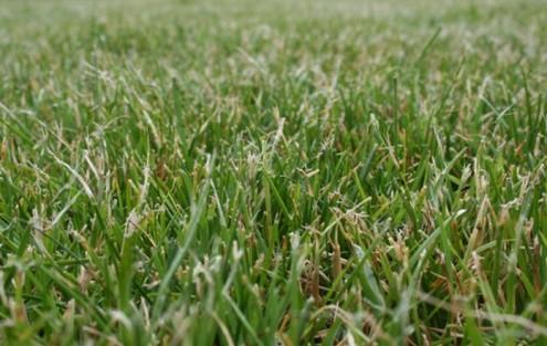 Ausgefranste Schnittenden nach dem Rasenmähen