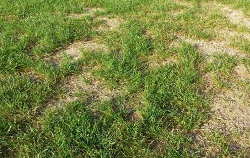 Gazon présentant des endroits nettement endommagés après la chaleur de l'été.
