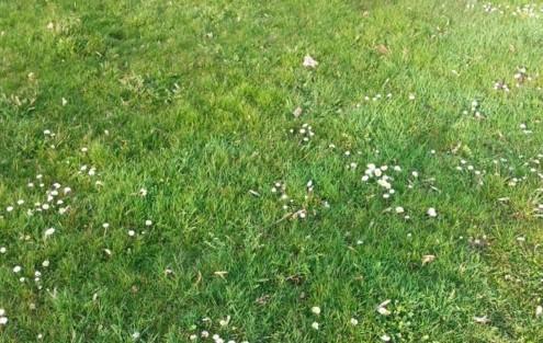 Surface de gazon fortement envahie par les mauvaises herbes