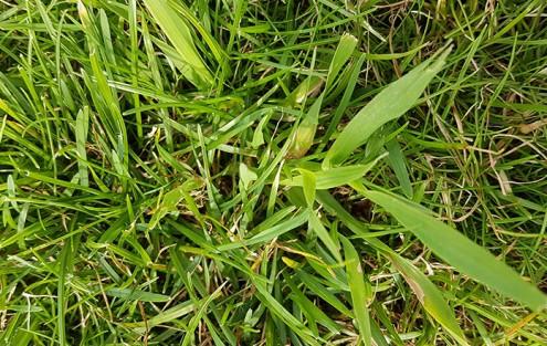 Typische Hirsepflanzen im Rasen